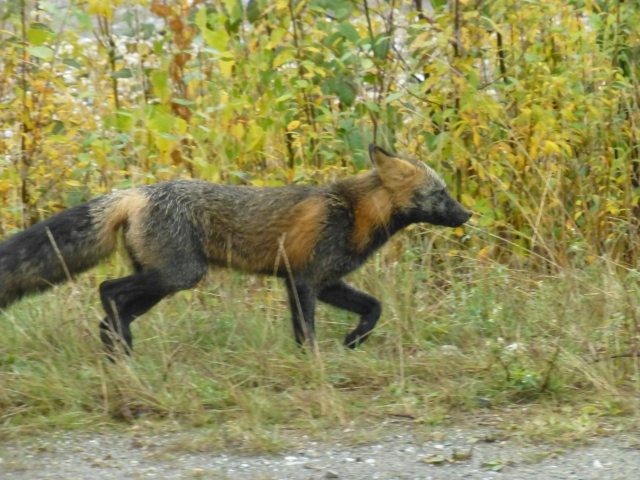 This fox was a regular around camp....hunting mice!